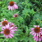 Echinacea Foto: JU