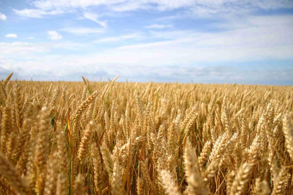 Weizen Weizenfeld